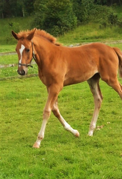 Valent x Cruising Filly from CCI5* Bloodline