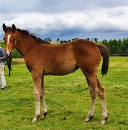 Jackaroo X Clover Brigade filly from Eventing Bloodline