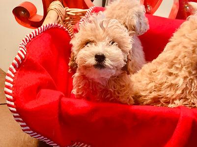 Maltipoo Maltese Poodle Bichon Poodle Bichon Poo