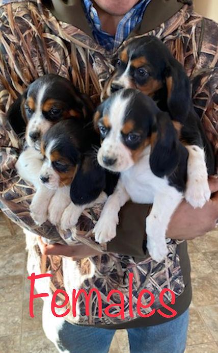 Beaglier Cavalier King Charles Beagle puppy
