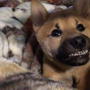 This Shiba Inu loves to smile!
