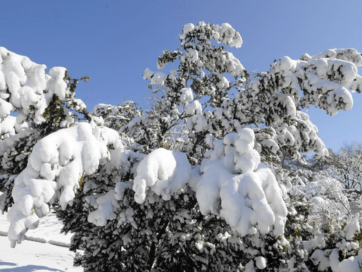 Helping Plants after a Heavy Snowfall