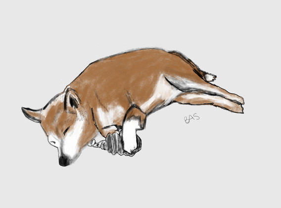 Koji sleeping