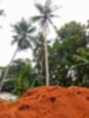 coconut tree with mountain of coconut coir