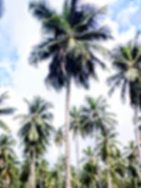 multiple coconut trees