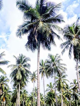 multiple coconut trees
