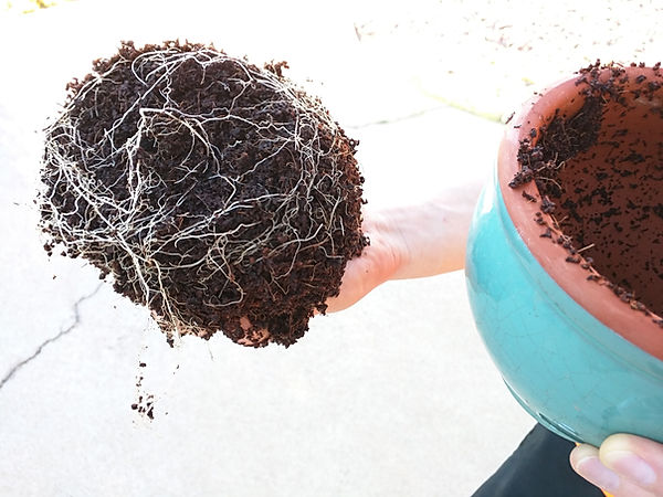showing thick roots in coconut coir