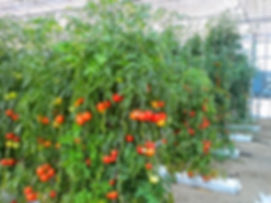 grow bags in greehouse with tomato plants