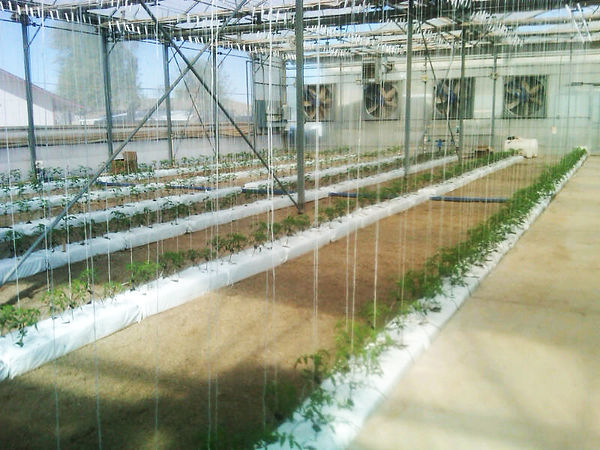grow bags in greenhouse with small tomato plants
