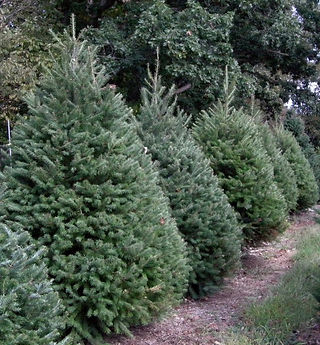 Douglas Fir - Sunny Hill Farm - ChristmasTree Farm - Sussex County, NJ