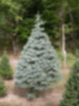 Concolor Fir - Sunny Hill Farm - Sussex County, NJ