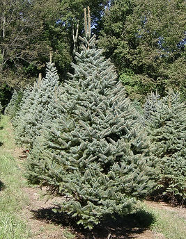 Colorado Blue Spruce - Christmas Tree Farm, Sussex County, NJ