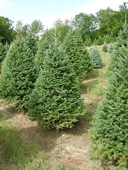 Fraser Fir - Sunny Hill Farm - Christmas Tree Farm - Sussex County, NJ