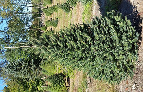 Balsam Fir - Sunny Hill Farm - Sussex County, NJ