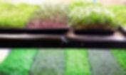2048px-Microgreens_.jpg