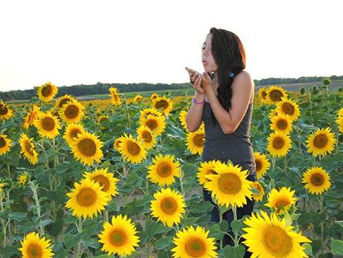 Petit Clos sunflowers