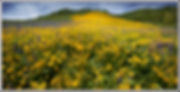 big widlflower crested butte b FOR CARD.