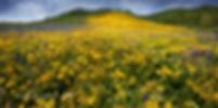 big widlflower crested butte c copy.jpg