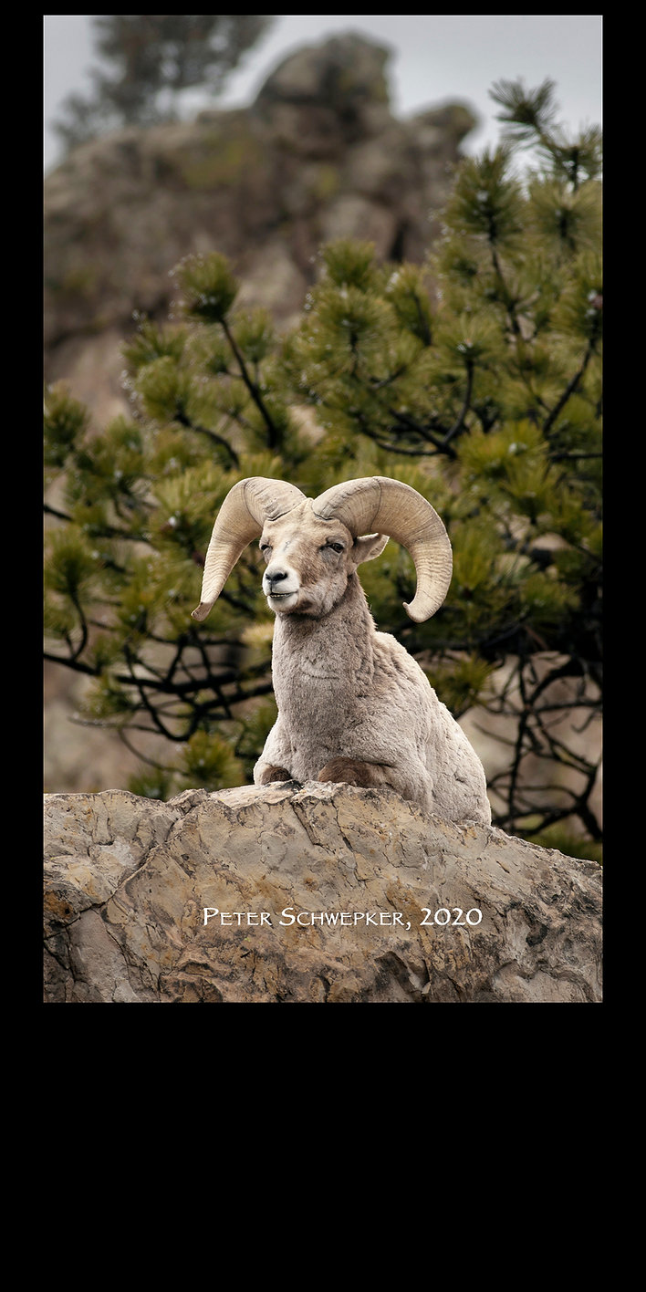 sheep gog 3-13 HL7A3254 34x60 b copy.jpg