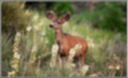 deer in yucca 6093 50x30 for card for YL