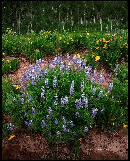 lupine and sun fowets online HL7A3226 for wix.jpg