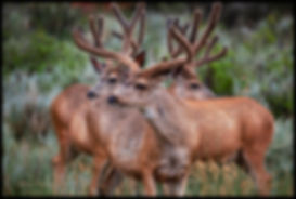 THREE BUCKS HL7A9715b FB COPY.jpg