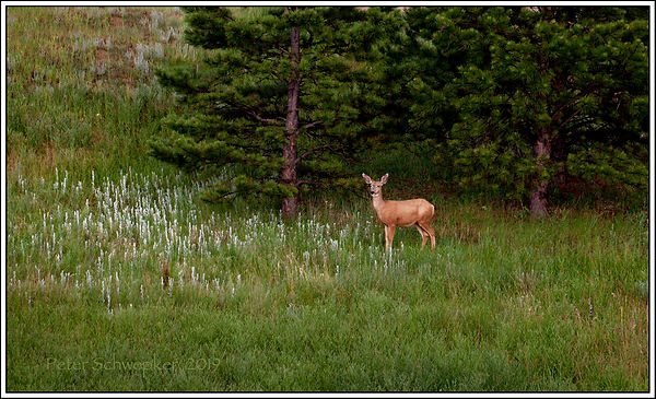 deer at mon rock side view 6765 50x30 ca