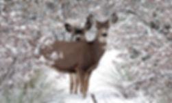 deer in garden nov 2019 4227 copy.jpg