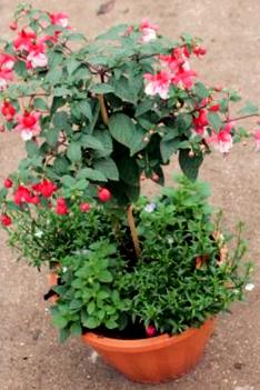 Fuchsia and Bedding Planter