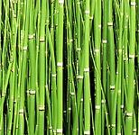 horsetailgrass-02.png