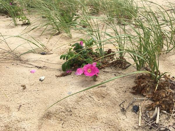 Rosa Rugosa Single on Beach ERay.jpg