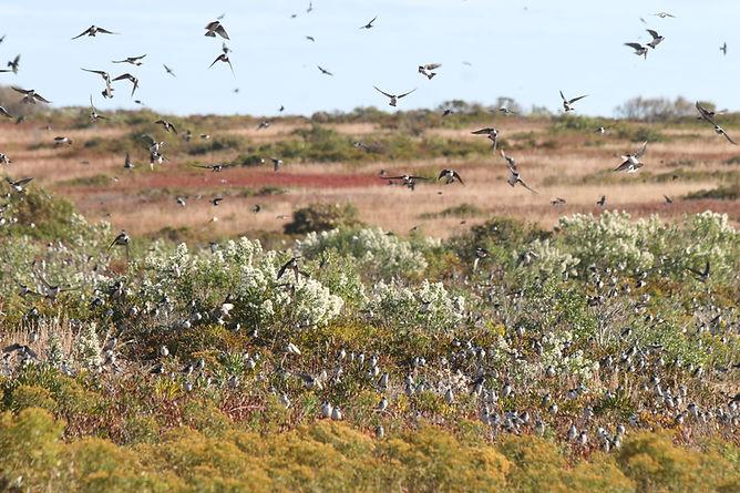 Swallows over Heathlands close JZiesing