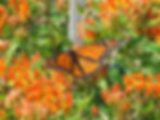 monarch_butterflyweed_NE.jpg