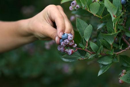 Hand_picking_blueberries.jpg