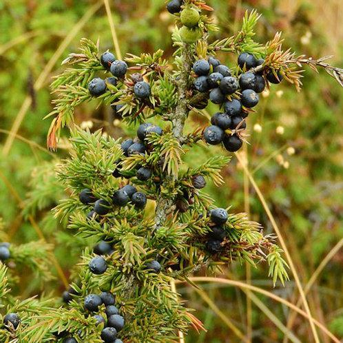 Juniper Berries 1 Oz. Package