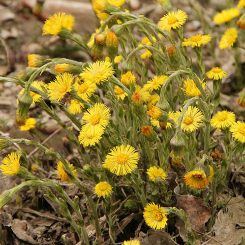 Coltsfoot 1 oz. Package