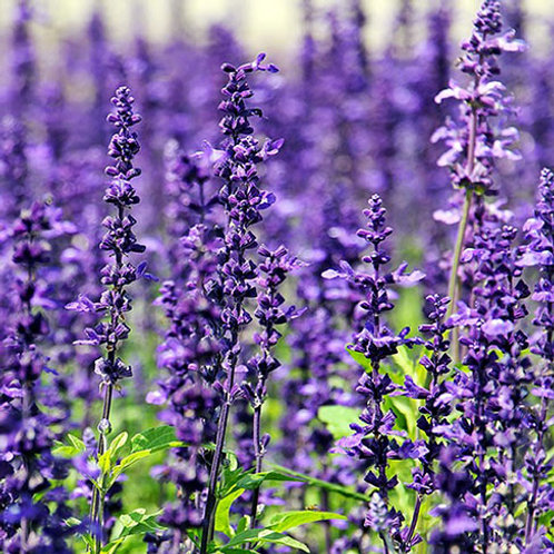Lavender 1 Oz. Package