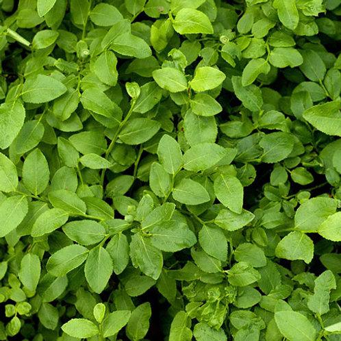 Blueberry Leaf 1 Oz.