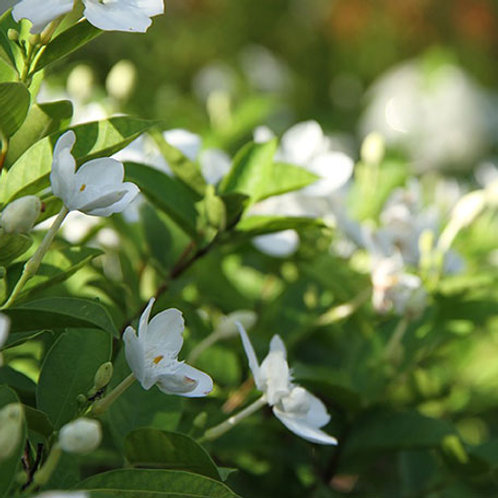 Gardenia 1 Oz. Package