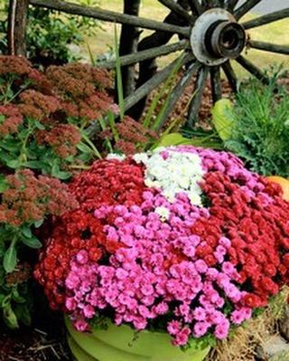 Happy Fall! 🍁🍂🌻#fallinspired #mums #SIMPLYDONE 617.962