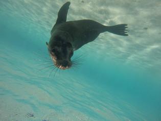 Sealion in Galapagos