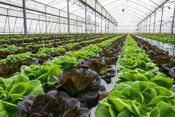 8_Lettuce in greenhouse_iStock-477701382