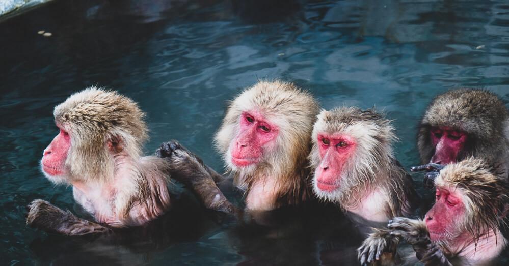 เราจะเห็นฝูงลิงก็ออกมาแช่ออนเซ็นกลางแจ้ง 「サル山温泉」