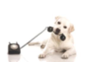 Labrador%20on%20the%20phone_edited.jpg