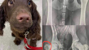 Puppy with a fracture