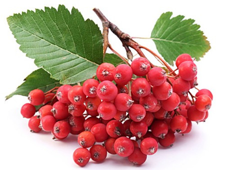 Rowan Berries Toxic to Dogs