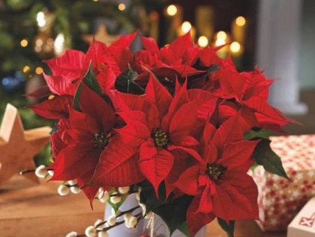 Poinsettia toxic to dogs and cats