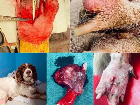 Dog toe amputation