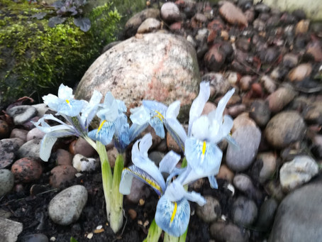 Spring Bulbs - Hidden Dangers