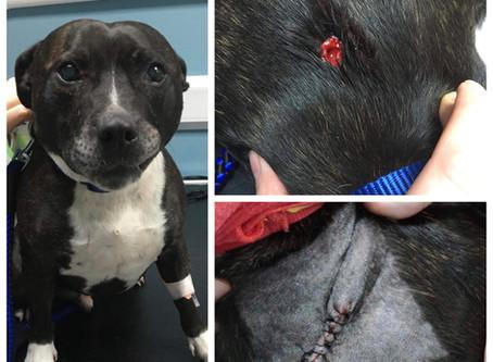 Dog wound stitched